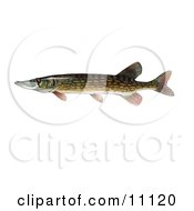 Clipart Illustration Of A Chain Pickeral Fish Esox Niger