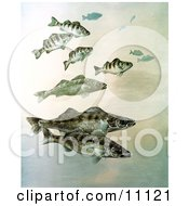 Clipart Illustration Of Walleye Yellow Perch And Pike Fish Swimming Together
