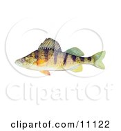 Clipart Illustration Of A Yellow Perch Fish Perca Flavescens by JVPD #COLLC11122-0002