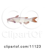 An Albino Channel Catfish Ictalurus Punctatus by JVPD