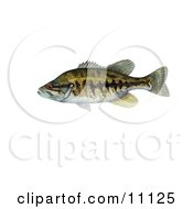 Clipart Illustration Of A Suwannee Bass Fish Micropterus Notius
