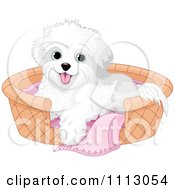 Cute Bichon Frise Maltese Puppy Dog In A Basket Bed