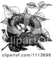 Clipart Vintage Black And White Goldfinch Nest With Eggs Royalty Free Vector Illustration