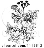 Clipart Retro Black And White Coriander Plant And Flowers Royalty Free Vector Illustration
