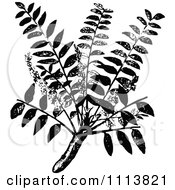 Clipart Vintage Black And White Frankincense Plant Royalty Free Vector Illustration by Prawny Vintage