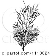 Clipart Vintage Black And White Heath Branch Royalty Free Vector Illustration