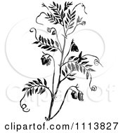 Clipart Vintage Black And White Lentil Plant Royalty Free Vector Illustration