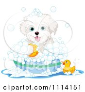 Cute Bichon Frise Maltese Puppy Bathing With A Duck And Bubbles