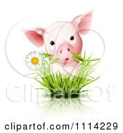 Cute Piglet With A Daisy In Grass