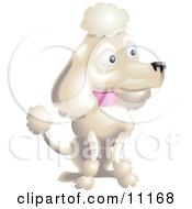 Pampered White Female Poodle With A Pink Collar Sporting The Pompoms Of The Continental Clip In A Dog Show Clipart Illustration
