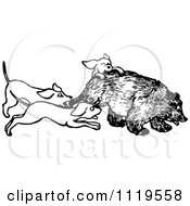 Clipart Of A Retro Vintage Black And White Hunting Dogs Attacking A Bear Royalty Free Vector Illustration