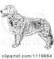 Clipart Of A Retro Vintage Black And White Golden Retriever Dog Royalty Free Vector Illustration