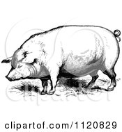 Clipart Of A Retro Vintage Black And White Farm Pig Royalty Free Vector Illustration by Prawny Vintage #COLLC1120829-0178