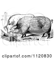 Clipart Of Retro Vintage Black And White Farm Pigs Eating Royalty Free Vector Illustration