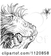 Clipart Of A Retro Vintage Black And White Gnat Annoying A Lion Royalty Free Vector Illustration by Prawny Vintage
