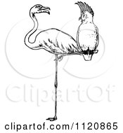 Clipart Of A Retro Vintage Black And White Cockatoo Perched On A Flamingos Leg Royalty Free Vector Illustration