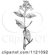 Clipart Of A Retro Vintage Black And White Botanical Plant With Flowers 1 Royalty Free Vector Illustration by Prawny Vintage
