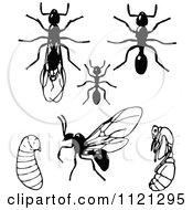 Clipart Of Retro Vintage Black And White Ants In Different Stages Royalty Free Vector Illustration by Prawny Vintage