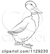 Cartoon Clipart Of An Outlined Drake Mallard Duck Black And White Vector Coloring Page by Picsburg
