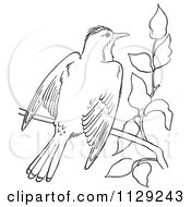 Cartoon Clipart Of An Outlined Kingbird With Open Wings On A Branch Black And White Vector Coloring Page