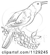 Cartoon Clipart Of An Outlined Oriole Bird With Berries Black And White Vector Coloring Page by Picsburg