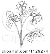 Cartoon Clipart Of An Outlined Strawberry Plant With Blossoms Black And White Vector Coloring Page