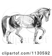 Clipart Of A Retro Vintage Diagram Of Walking Horse Muscles In Black And White Royalty Free Vector Illustration