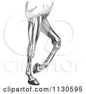 Retro Vintage Engraved Diagram Of Horse Leg Muscles In Black And White