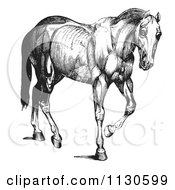 Clipart Of A Retro Vintage Engraved Horse Anatomy Of Muscular Covering In Black And White Royalty Free Vector Illustration