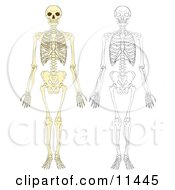 Human Skeletons Clipart Illustration