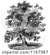 Clipart Of A Retro Vintage Black And White Mature Black Walnut Tree Royalty Free Vector Illustration by Prawny Vintage #COLLC1157367-0178