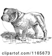Clipart Of A Retro Vintage Black And White English Bulldog Royalty Free Vector Illustration by Prawny Vintage #COLLC1165673-0178