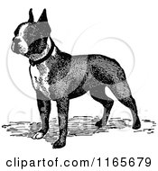 Clipart Of A Retro Vintage Black And White Boston Terrier Dog Royalty Free Vector Illustration by Prawny Vintage #COLLC1165679-0178