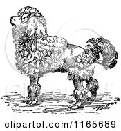 Clipart Of A Retro Vintage Black And White Groomed Poodle Dog Royalty Free Vector Illustration
