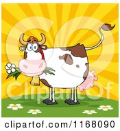 Cow Eating A Daisy Flower Against A Sunset