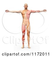 Clipart Of A 3d Vitruvian Man With Exposed Leg And Arm Muscles Royalty Free CGI Illustration