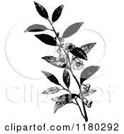 Retro Vintage Black And White Tea Plant