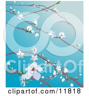 White Cherry Blossoms And Buds On Tree Branches In Spring Clipart Illustration