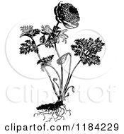 Clipart Of A Retro Vintage Black And White Coronaria Flore Pleno Plant Royalty Free Vector Illustration