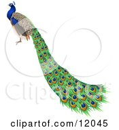 Gorgeous Indian Blue Peacock Bird With Long Feathers Clipart Illustration