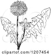 Clipart Of A Vintage Black And White Dandelion Plant Royalty Free Vector Illustration
