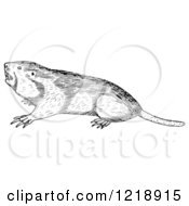 Black And White Pocket Gopher