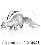 Black And White Sniffing Skunk