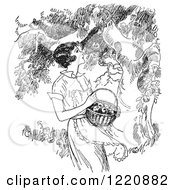 Clipart Of A Black And White Retro Woman Picking Apples From A Tree Royalty Free Vector Illustration