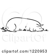 Black And White Sow Resting Eating