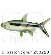 Penguin Tetra Fish