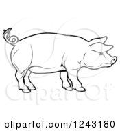 Black And White Pig In Profile