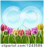 Colorful Spring Tulip Flowers Under A Blue Sky With Puffy Clouds