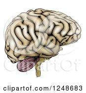 Human Brain In Profile