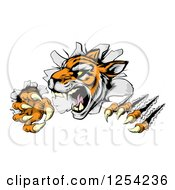 Clipart Of A Snarling Tiger Mascot Breaking Through A Wall Royalty Free Vector Illustration